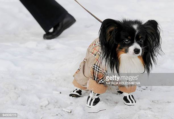 A dog wearing a special coat and boots to protect it from the cold goes for a walk in Moscow on December 16 2009 Temperatures in Russia's capital...