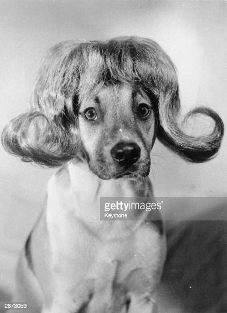 A dog wearing a wig made by a Dutch wigmaker and hairdresser