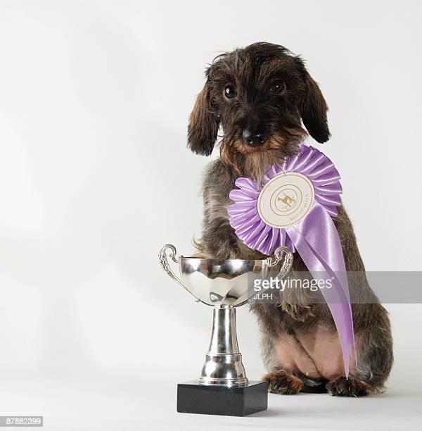 Dog wearing best-in-breed ribbon