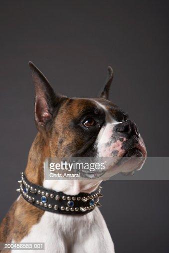 Dog wearing collar, looking away : Stock Photo