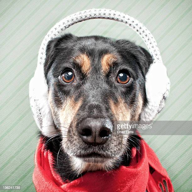 Dog wearing ear muffs and scarf