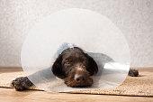 dog wearing plastic protective elizabethan (buster) collar