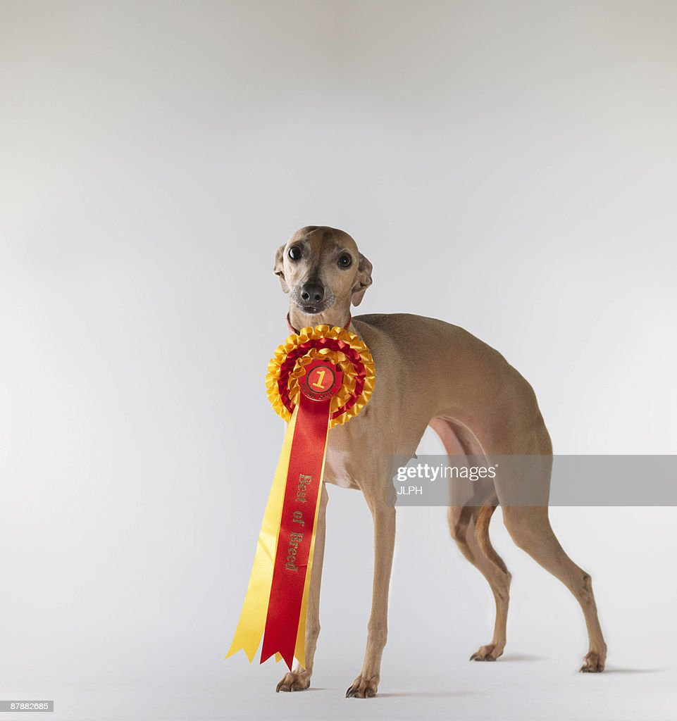 Dog wearing first prize ribbon : Stock Photo