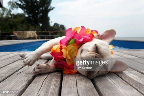 Dog wearing lei by pool : Stock Photo