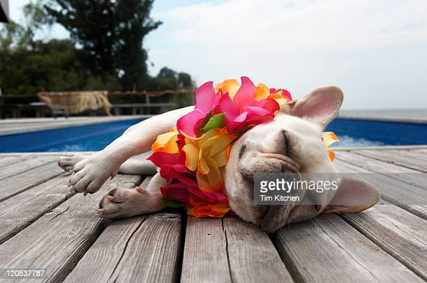 Dog wearing lei by pool