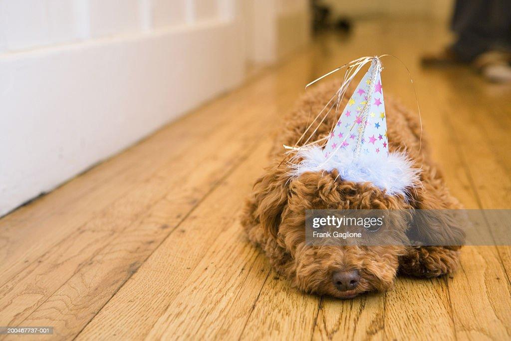Dog wearing party hat, lying on hardwood floor : Stock Photo