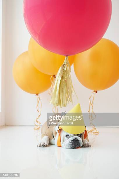 Dog wearing party hat with balloons