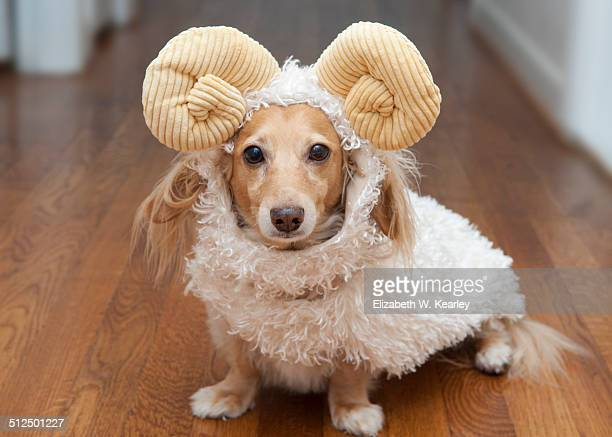 Dog wearing ram costume