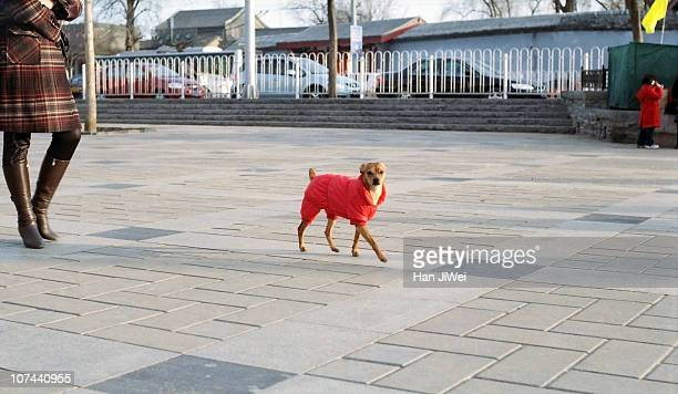 A dog wearing red clothes