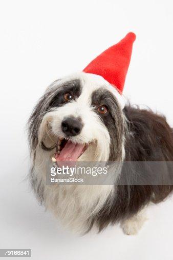 Dog wearing Santa hat : Foto de stock