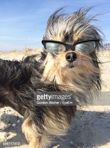 Dog Wearing Sunglasses On Beach Against Sky During Sunny Day