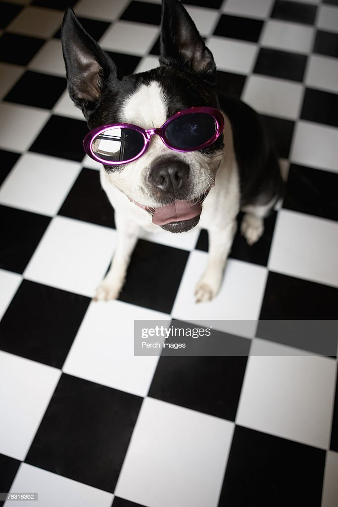 Dog wearing sunglasses : Stock Photo