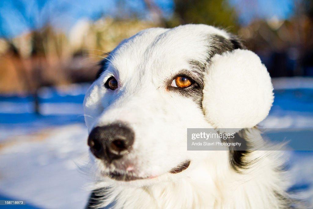 Dog Wearing White Ear Muffs : Stock Photo