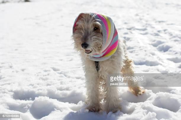 A dog wears a knit neckerchief