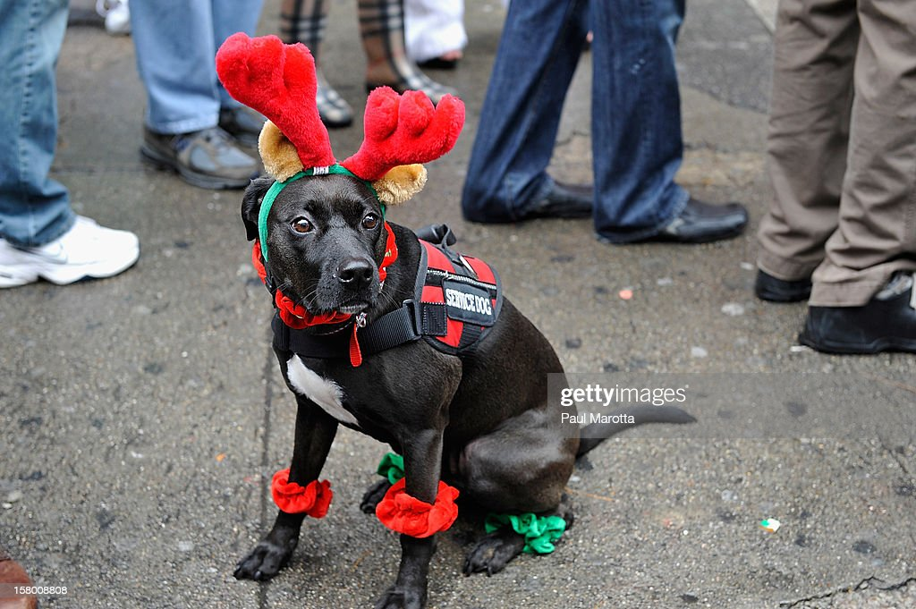 A dog wears a reindeer costume as more than 700 runners participate in The 2012 Boston Santa Speedo Run on December 8, 2012 in Boston, Massachusetts.