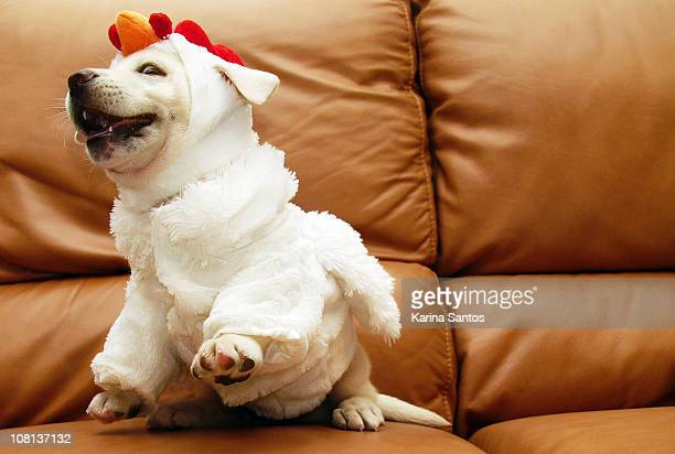 dog wears chicken costume, then objects