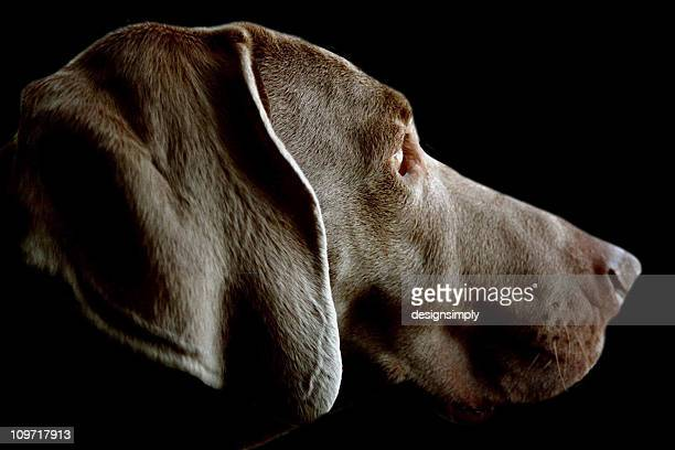 Dog - Weimaraner Profile