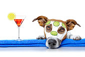 jack russell dog relaxing  with beauty mask in  spa wellness center , moisturizing cream mask and cucumber , isolated on white background, with cocktail drink