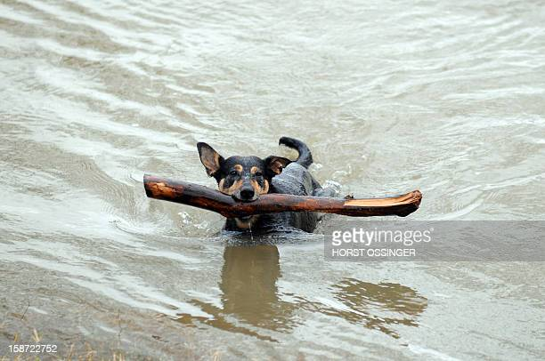 A dog with a branch in his mouth swims in the floodwaters of the river Rhine on December 26 2012 in Duesseldorf western Germany Due to thawing and...