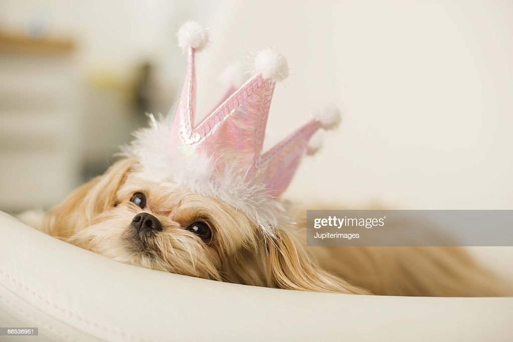 Dog with a crown : Stock Photo