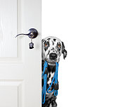 Dog with a leash peeks out from behind the door -- isolated on white