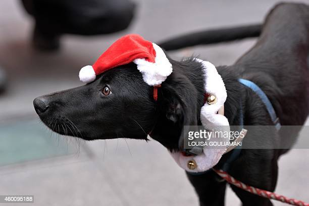A dog with a santa Claus hat takes part in the first Athens 'Santa Claus Run' in city's center on December 7 2014 AFP PHOTO/ LOUISA GOULIAMAKI