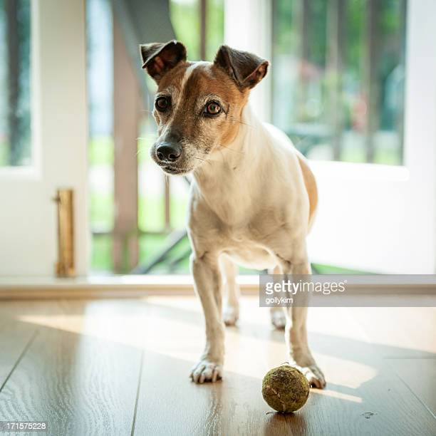 Dog with ball ready to go outside