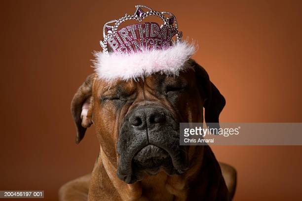 Dog with birthday crown on head