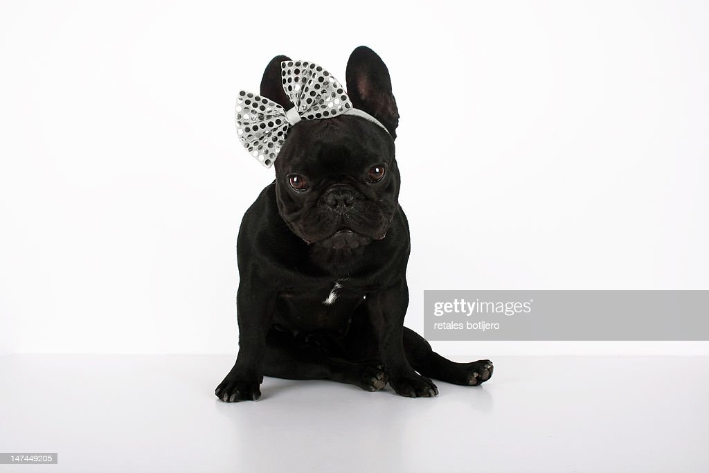 Dog with bow : Stock Photo