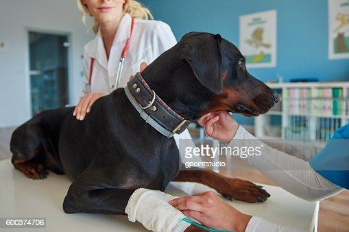 Dog with broken leg at the vet : Stock Photo