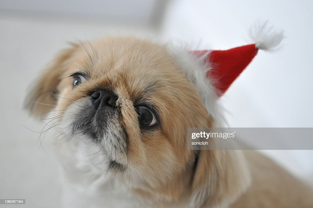 Dog with Christmas hat : Stock Photo