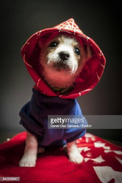 Dog With Cloth Looking Up