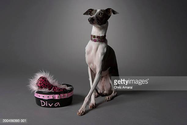 Dog with diva bowl