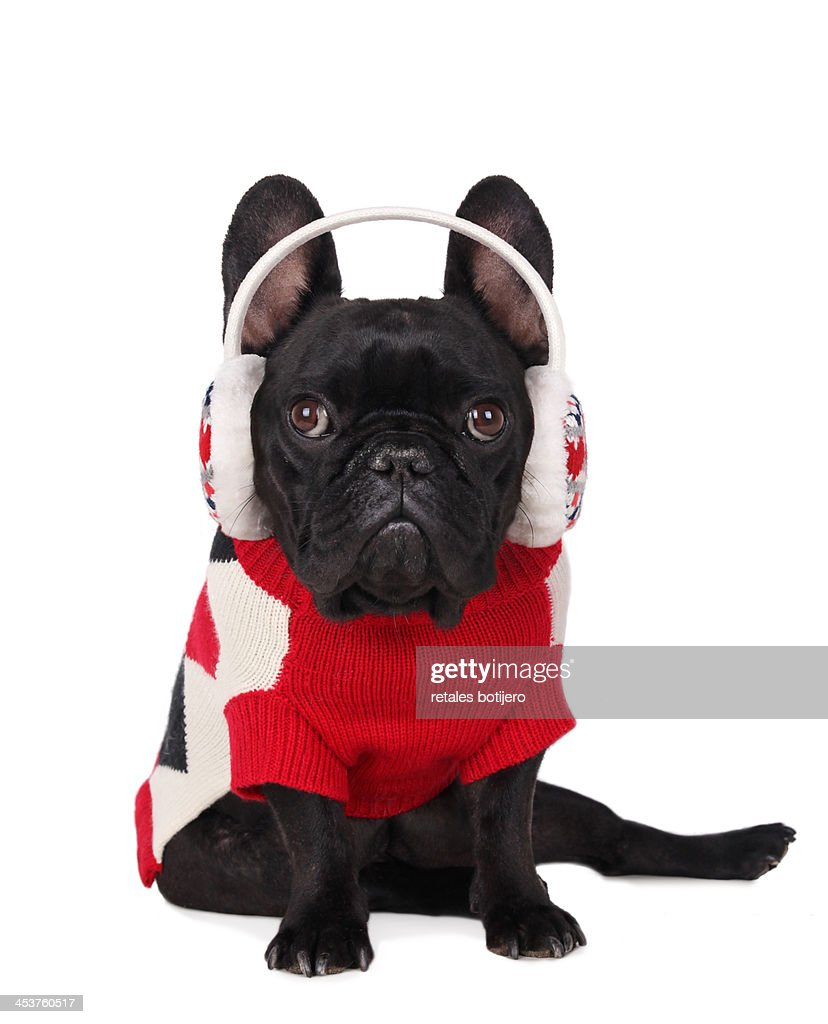 dog with ear flaps and jersey : Stock Photo