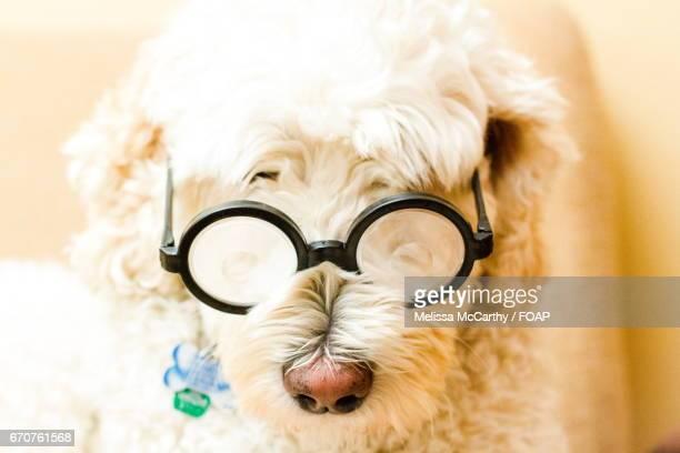Dog with eye glasses