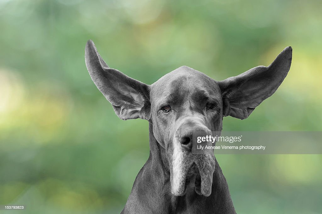 Dog with flying ears