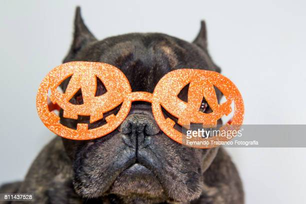 Dog with glasses pumpkin on halloween