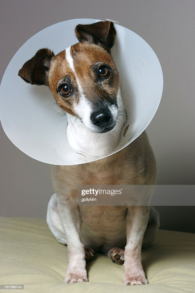 Dog with her Elizabethan collar : Stock Photo