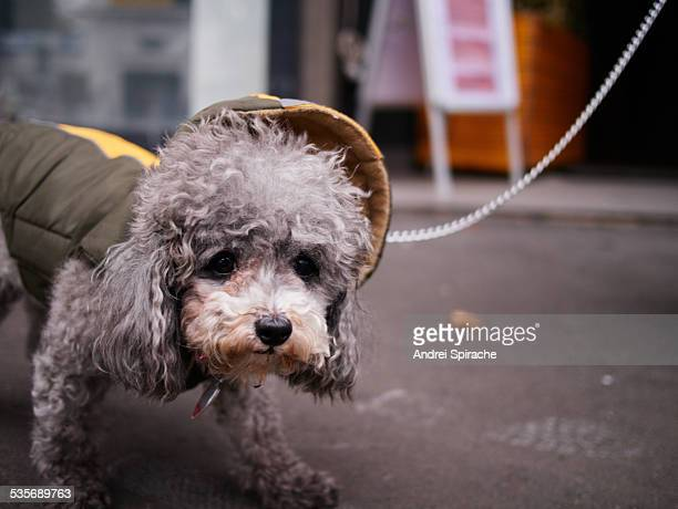 Dog with hood taking a walk