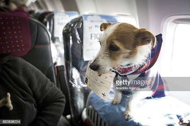 A dog with its flight ticket is seen in a plane in Chiba Japan on January 27 2017 Japan Airlines 'wan wan jet tour' allows owners and their dogs to...