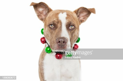 Dog with jingle bell collar : Stock Photo