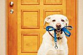 Labrador retriever with leash is waiting for walk