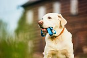 Cute dog (labrador retriever) with leash is waiting for walk in front of the house.