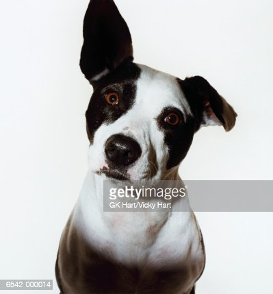 Dog With One Ear Raised
