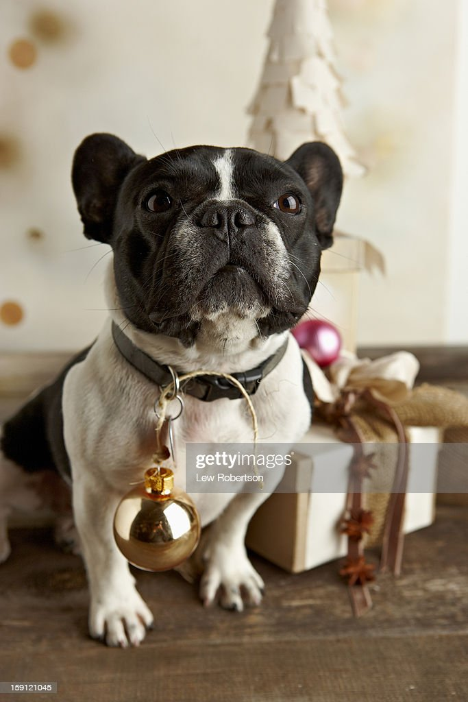 Dog with ornament : Stock Photo