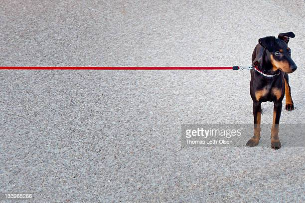 Dog with red leash on road