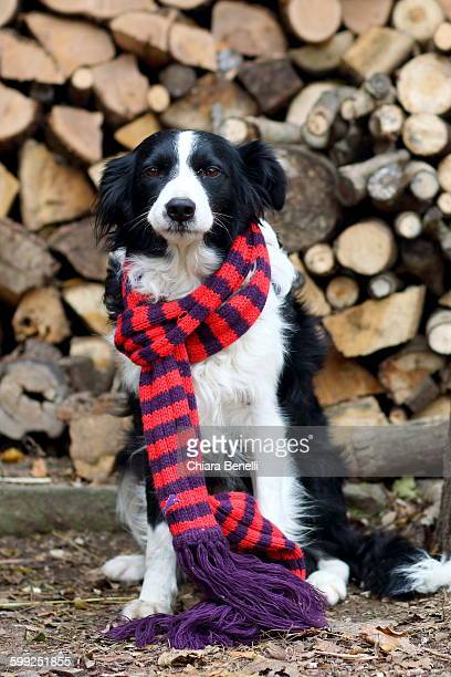 Dog with striped scarf