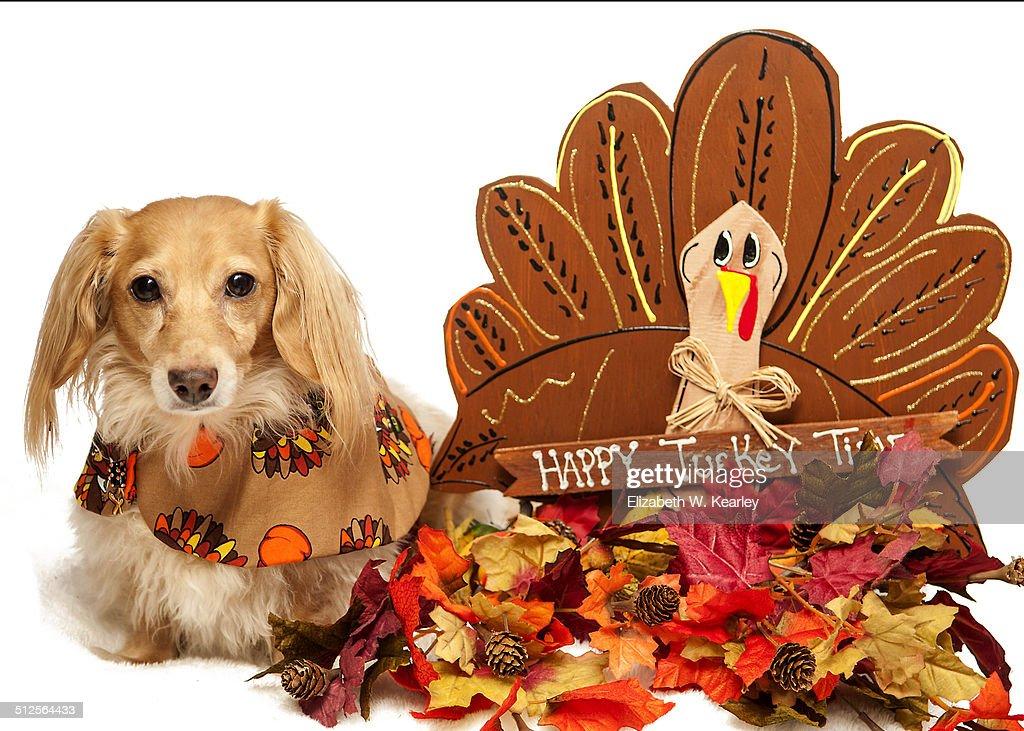 dog with thanksgiving turkey decoration stock photo