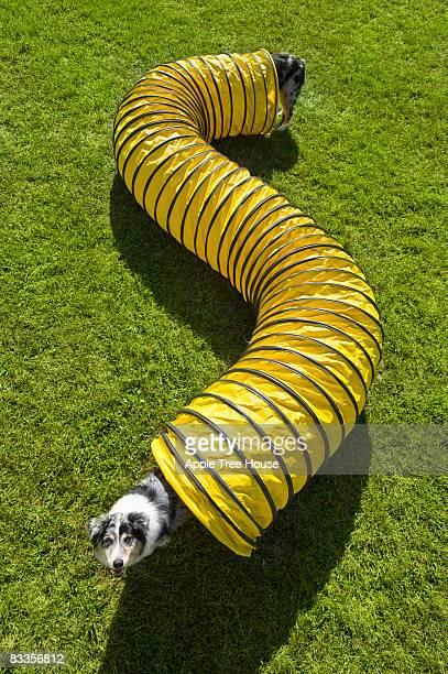 Hund mit sehr langen Körper