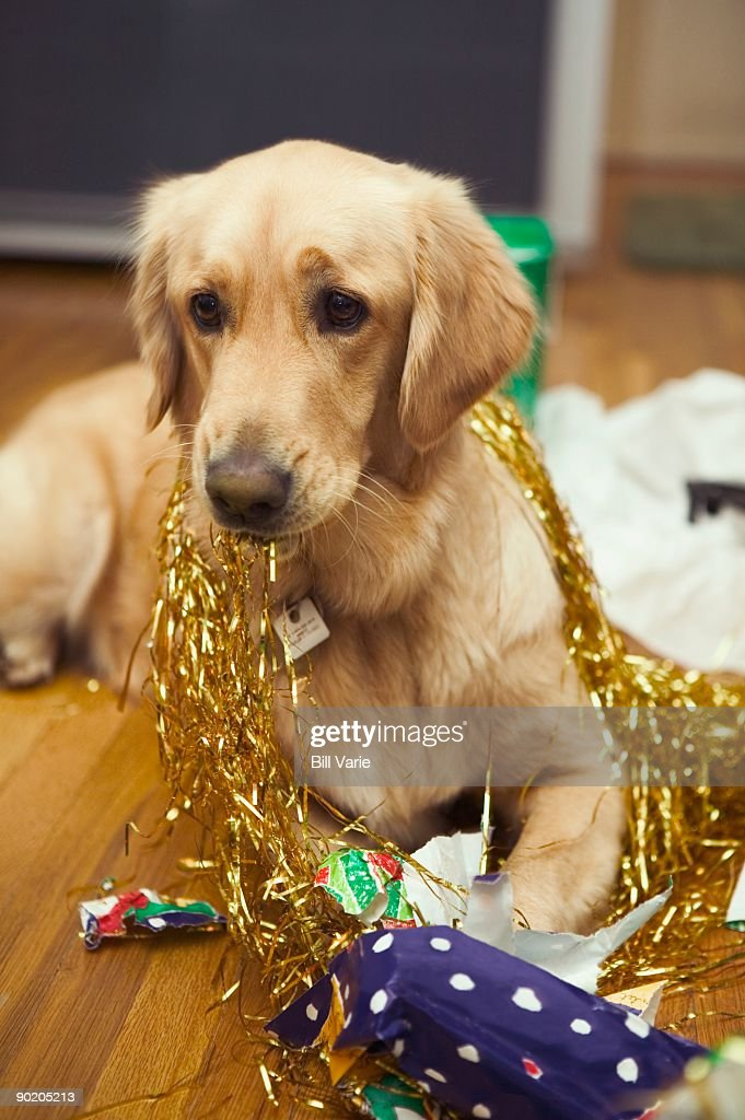 Dog with Wrapping Paper and Tinsel